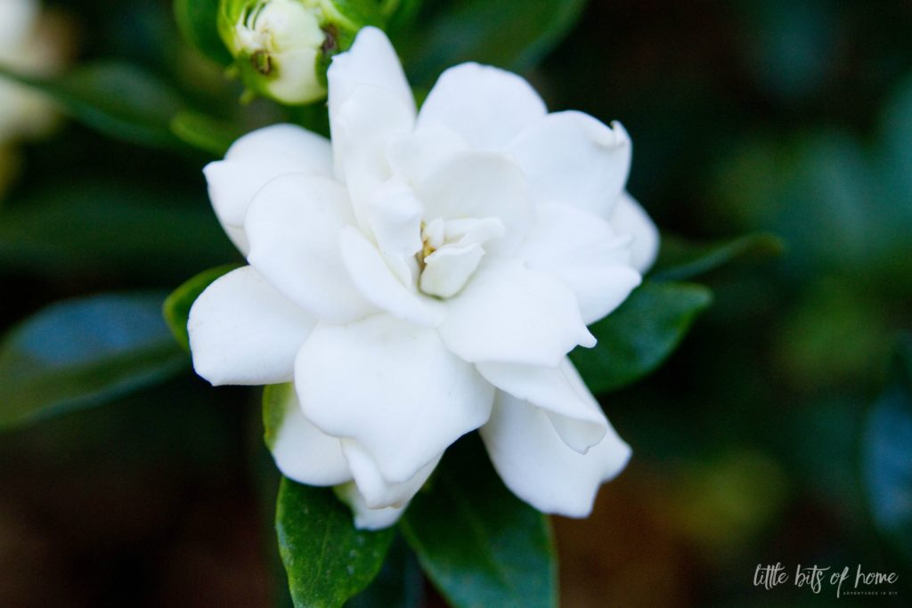 gardenia little bits of home